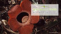 「世界最大の花」として知られているラフレシア(学名Rafflesia sp.)。死肉に似た色彩や質感のみならず、強烈な腐臭を発してハエを誘いこむ。だが、現地では大切な薬草として珍重されている。