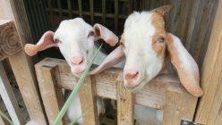 ヤギは沖縄のポピュラーな高級食材です。こちらの言葉で「ヒージャー」と言います。昔からお祝い事には欠かせない滋養強壮のスタミナ料理として食べられており、南大東島では新築祝い、中学校の卒業式、お正月等にヤギ汁やヤギ刺しにして頂きます。ラム肉とは違うパンチの効いた独特のヒージャー臭があります=筆者提供