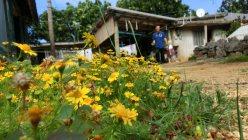 往診を終え、患者さんのお宅を後にする筆者。11月半ばの南大東島はまだ最高気温が27度ほどもあります。道ばたにはキク科の小さな黄色い花が咲き乱れていました=筆者提供