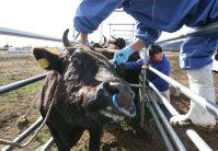 調査のため、鉄柵の中に入れられる牛=福島県大熊町で2015年12月6日午前10時2分、小出洋平撮影