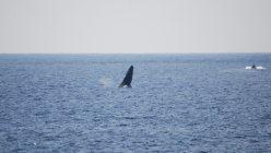 毎年12月〜3月は、ザトウクジラの群れが南大東島の沿岸を訪れます。陸にいながらホエールウオッチングを楽しむことができます=著者提供