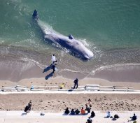 海岸に打ち上げられたクジラ=徳島県阿南市で2016年1月20日午前、本社ヘリから貝塚太一撮影