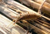 わらの中でぐっすり眠るゴマダラチョウの幼虫=福家多恵子さん撮影