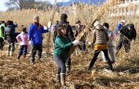 琵琶湖岸のヨシを刈り、まとめて運ぶ参加者たち=大津市雄琴6で2016年1月31日午前、田中将隆撮影