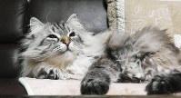 佐竹敬久知事が飼っているシベリア猫「ミール」。ロシアのプーチン大統領から贈られた=県提供