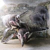 子育て中のフンボルトペンギン=志摩マリンランド提供