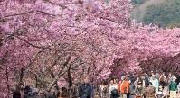 見ごろを迎え、ピンク色に染まった河津桜の並木=静岡県河津町で2016年2月18日、長谷川直亮撮影