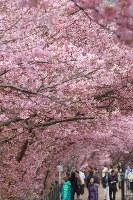 見ごろを迎えた河津桜を楽しむ観光客=静岡県河津町で2016年2月18日、長谷川直亮撮影