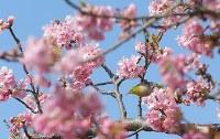 見ごろを迎えた河津桜=静岡県河津町で2016年2月18日、長谷川直亮撮影