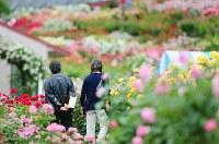 鮮やかなバラの中を歩く大久保三夫さん(63)と恵子さん(58)。手にしているアルバムには、今も見つからない1人娘・真希さん(当時27歳)の写真。アルバムの写真と同じ場所を探しながら、思い出の場所を歩いた。鮮やかな花々に2人は囲まれていた=山形県村山市で2015年6月9日、小川昌宏撮影