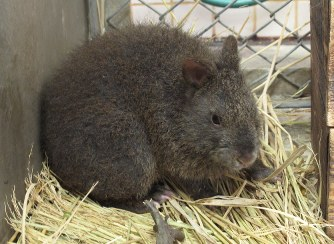 アマミノクロウサギの画像 p1_18