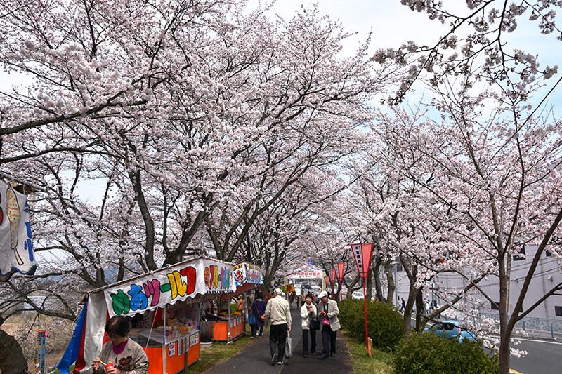 桜:春めく斐伊川堤防 雲南で見...