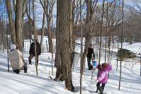 Making maple syrup is an early spring custom in eastern Canada. It starts with putting tubes into the trunks of sugar maples and waiting for sap to collect from the trees.