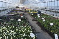 恵庭市の花卉生産農家のビニールハウス。冬季は暖房で電気や灯油などエネルギーを大量に消費する=恵庭市西島松で