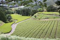 日当たりのいい斜面に新茶の畑が広がる=静岡県藤枝市助宗で