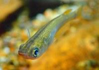 葛西臨海水族園が「東京めだか」ではないかとみて、何代にもわたり飼育しているミナミメダカ