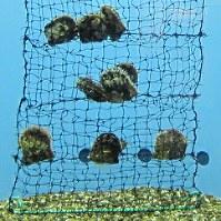 真珠貝とも呼ばれるアコヤガイ=志摩マリンランド提供