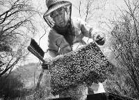 ハチの状態を確認しながら巣箱から巣を取り出す稲田治さん=大阪府交野市で、梅田麻衣子撮影