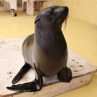 ミナミアフリカオットセイの「ふたば」は5月22日に1歳になる=鳥羽水族館提供