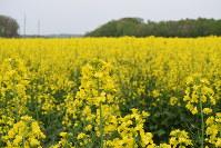 一面、黄色のじゅうたんに染まった菜の花畑