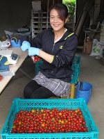 摘みたてのミニトマトを袋詰めする武藤恭子さん。スーパーの売り場で買い物客の反応をじかに聞くのが楽しみという=秋田市下新城笠岡で