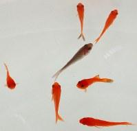 群れのどこにいるかで金魚の性格がわかる=高田守さん撮影