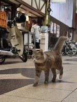 「広島県路地裏観光課長」に任命された猫のララ=同県尾道市の尾道本通り商店街で、菅沼舞撮影