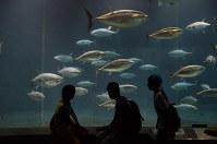 「奇跡のマグロ」が死んだ翌日の大水槽。新入りのクロマグロたちもすっかり大きくなった=東京都江戸川区の葛西臨海水族園で3日、中嶋真希撮影