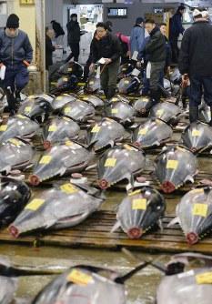 Intermediary traders assess tuna at an auction at Tsukiji Market in Tokyo's Chuo Ward on Jan. 5, 2016. (Mainichi)