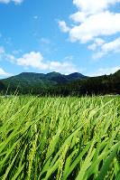 杉坂山のふもとに広がる「秋の詩」の田。農薬と化学肥料の少ない環境こだわり米だ。晩生(おくて)なので8月下旬でも青い=滋賀県多賀町大岡で、山本直撮影