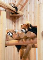 レッサーパンダ舎に設置された木製遊具でくつろぐレッサーパンダ=福井県鯖江市桜町3の西山動物園で、竹内望撮影