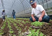 大葉シュンギクの苗を手際よく植えていく矢野さん(右端)=北九州市小倉南区で、比嘉洋撮影
