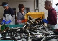 揚げしたばかりの松輪サバを手早く計量、分類するみうら漁協スタッフ。氷と塩水に浸して箱詰めし、出荷される=神奈川県三浦市南下浦町松輪の間口漁港で