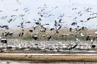 毎年秋から冬にかけて、鶴の大群が姿を現すフーラ湖とその周囲の湿地帯。さまざまな野鳥も訪れ、さながら野鳥博物館のようイスラエル北部フーラ湖で2016年1月、大治朋子撮影