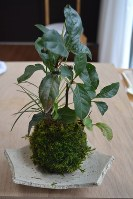 植物とコケを組み合わせたコケ玉
