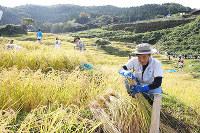 稲刈りに汗を流すオーナー会員=石川県輪島市白米町の白米千枚田で、堀文彦撮影