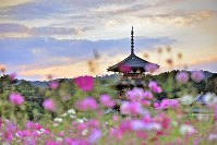 The three-story pagoda at Hokiji Temple in Nara is seen with cosmos flowers in the foreground. The temple is famous for its scenery with cosmos flowers, which are grown by local residents on idle farmland. (Photo by Yusuke Hashimoto/Series Akiiro Nara 1)