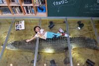 強化ガラスの床下に潜む体長4.8メートルの巨大ワニの剥製=京都市左京区の京都市動物園で、小松雄介撮影