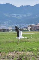 飛び立つコウノトリ。雄大に羽を広げた姿は存在感がある=京都府与謝野町の加悦谷平野で、安部拓輝撮影