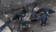 展示場で年上の仲間と一緒に餌のアジを食べるフェアリーペンギンの若鳥たち=葛西臨海水族園で