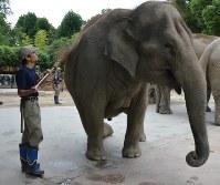 飼育担当の乙津和歌さんの号令で、膝を折り腰を落とす「ウタイ」。前脚の間にある二つの山が乳房で、出産を前にふくらみ始めている=東京都台東区の上野動物園で2016年9月14日、斉藤三奈子撮影