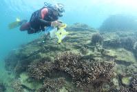 丸山の岩場を覆う枝状のサンゴ群を計測するダイバー=和歌山県田辺市の天神崎で、山本芳博撮影