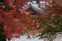 Japanese maple leaves in Nara Prefecture turn a deep red as the weather gets colder. (Photo by Yusuke Hashimoto)