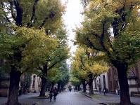 イチョウ並木が美しい東京大学本郷キャンパス。奥が安田講堂=東京都文京区で