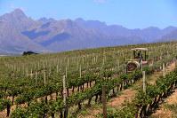 ワイナリーではブドウ栽培を間近に見ることができる
