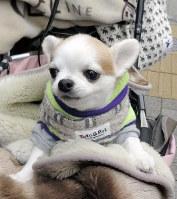 心臓病を抱えている9歳のチワワは防寒を怠らない=東京都港区で