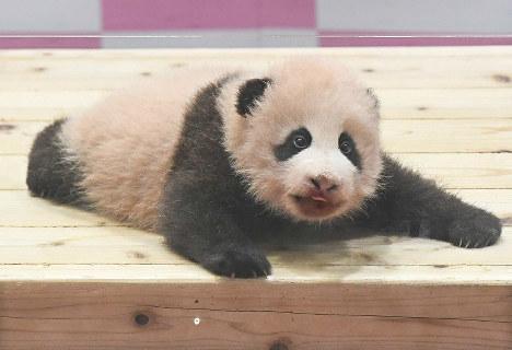 Photo Special: Japan-born baby panda named 'Yuihin'