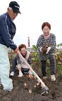 くわを入れ、えび芋を掘り起こす岡本洋子さん(右)ら=兵庫県姫路市兼田で、幸長由子撮影