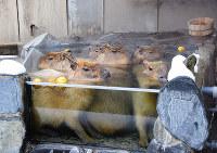 湯船にひしめき合い、体を温めるカピバラ=石川県能美市徳山町のいしかわ動物園で、久木田照子撮影