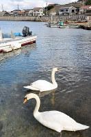 漁港に飛来した2羽のハクチョウ=島根県大田市五十猛町で、関谷徳撮影